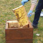 Einkehren von Flugbienen für Ablegerverstärkung