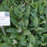 "Salvia officinalis ""Berggarten"", Gewürzsalbei"