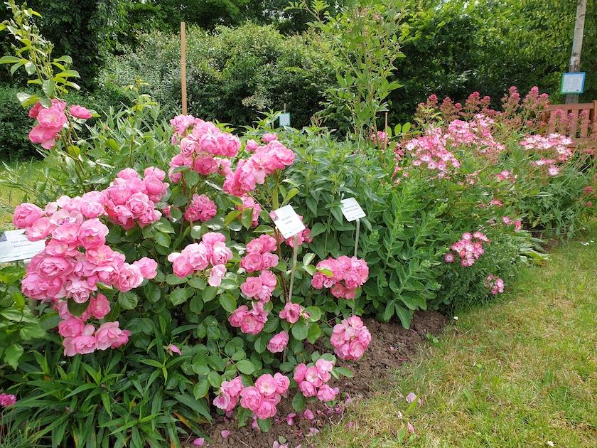 """Rose """"Angela"""" im Staudenbeet 2, Bamberger Bienengarten"""