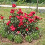 """Rosa """"Roter Korsar"""" mit weißer Lavendelumfassung"""