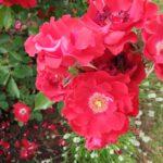 """Rosa """"Roter Korsar"""" mit weißer Lavendelumfassung im Bamberger Bienengarten, Bienenweg 1"""