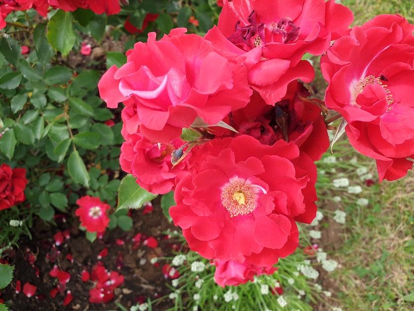 """Rose """"Roter Korsar"""" mit weißer Lavendelumfassung im Bamberger Bienengarten, Bienenweg 1"""