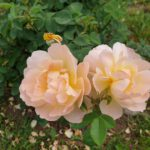 "Rose ""The Lark Ascending"" im Bamberger Bienengarten"