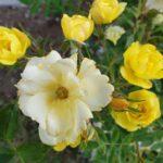 "Ramblerrose ""Golden Age"" im Bamberger Bienengarten"