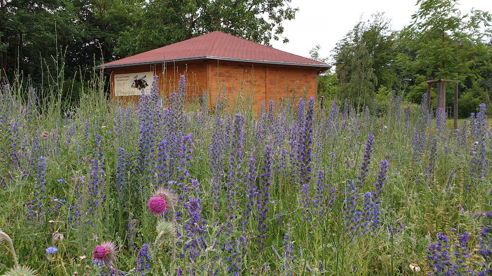 Blühwiese mit Natternkopf im Bienengarten an der Bienen-InfoWabe,