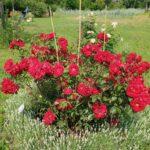 Rosa 'Roter Korsar' mit Zwerlavendel 'Nana Alba'r Korsar'