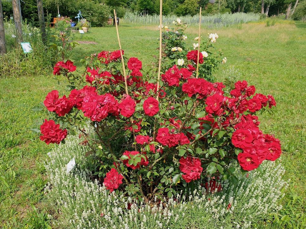 Rosa 'Roter Korsar'