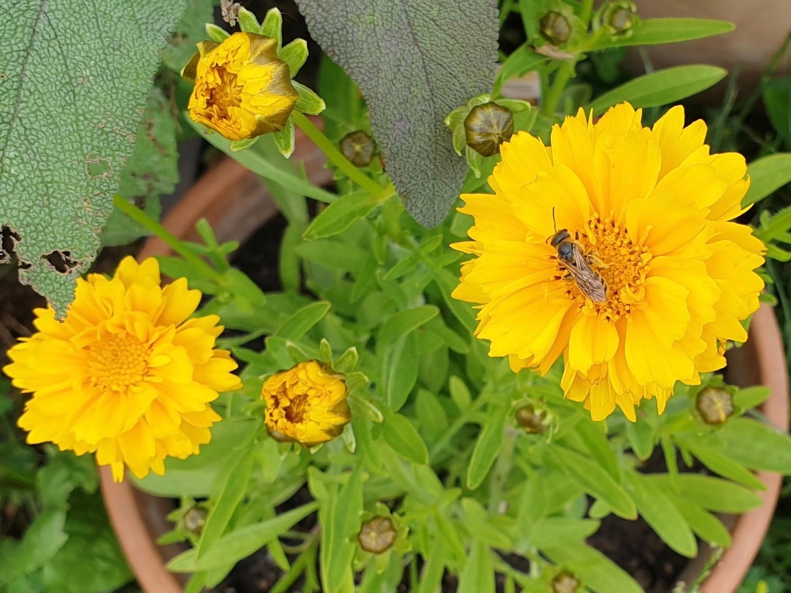 Schwebfliege an Großblumiges Mädchenauge (Coreopsis grandiflora 'Early Sunrise'