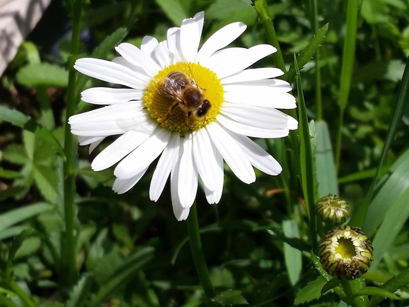 Biene an Magerwiesen-Margerite (Leucanthemum vulgare)