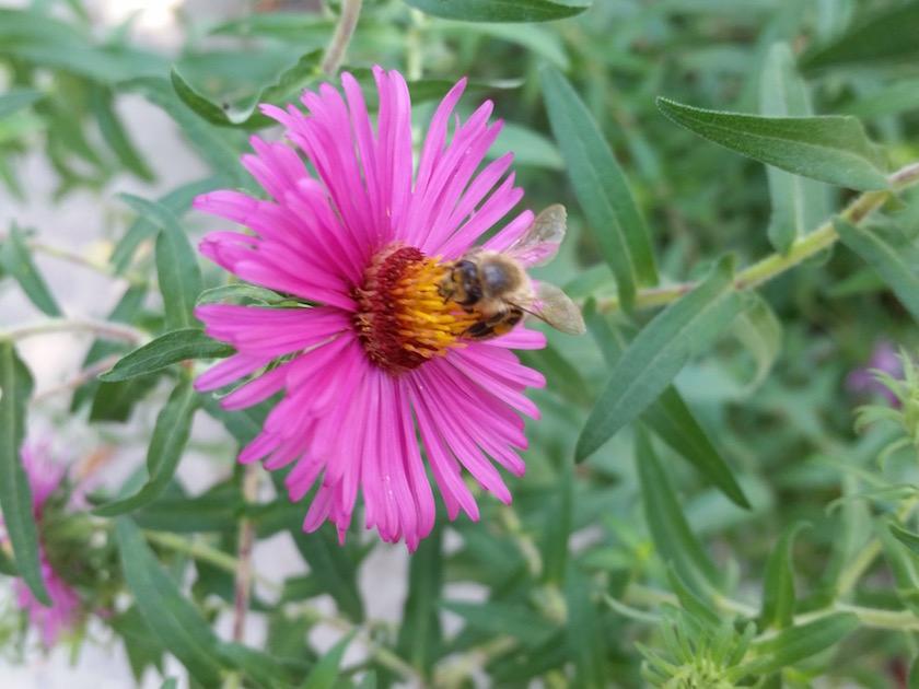 Biene an rose Herbstaster