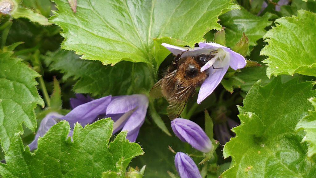 Hummel an Hängepolster-Glockenblume (Campanula poscharskyana)