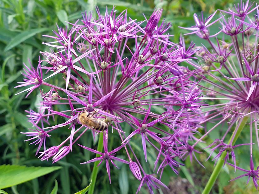 Biene an Kugel-Lauch (Allium aflatunense purble)