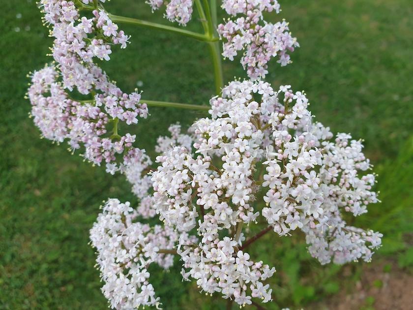 Gewöhnlicher Baldrian (Valeriana officinalis)