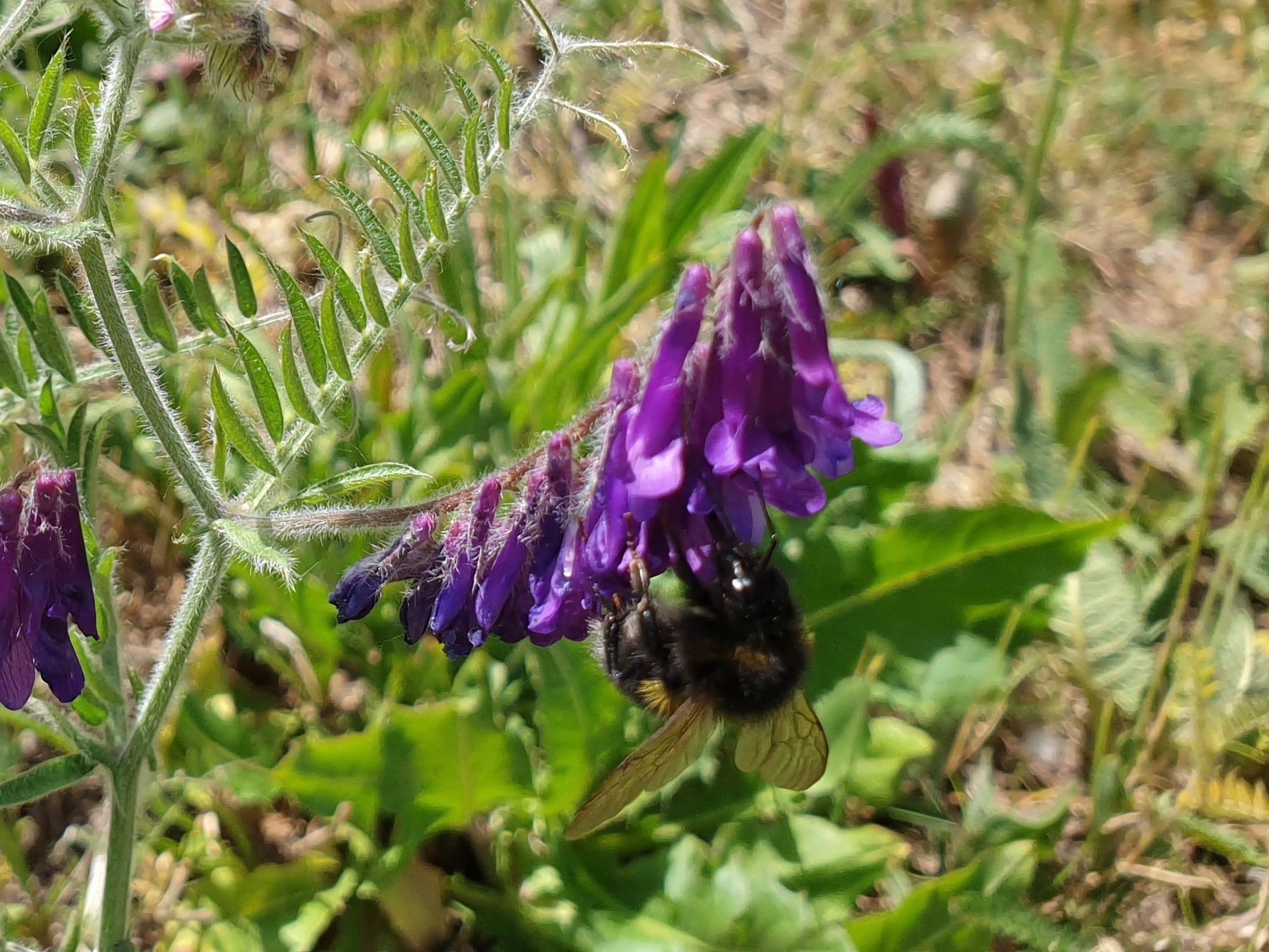 Biene an Zottel-Wicke (Vicia villosa)
