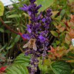 Biene an Ziersalbei (Salvia) 'Der freche Michel'
