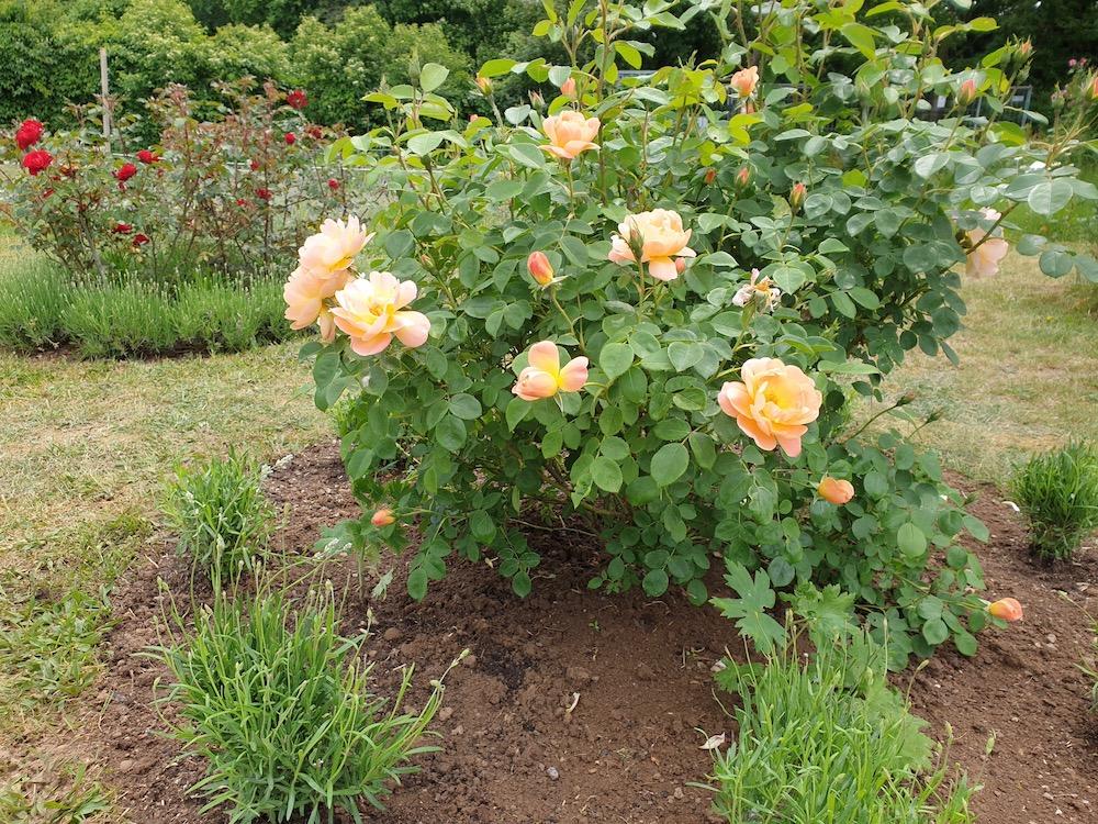 Strauchrose (Rosa 'The Lark Ascending')
