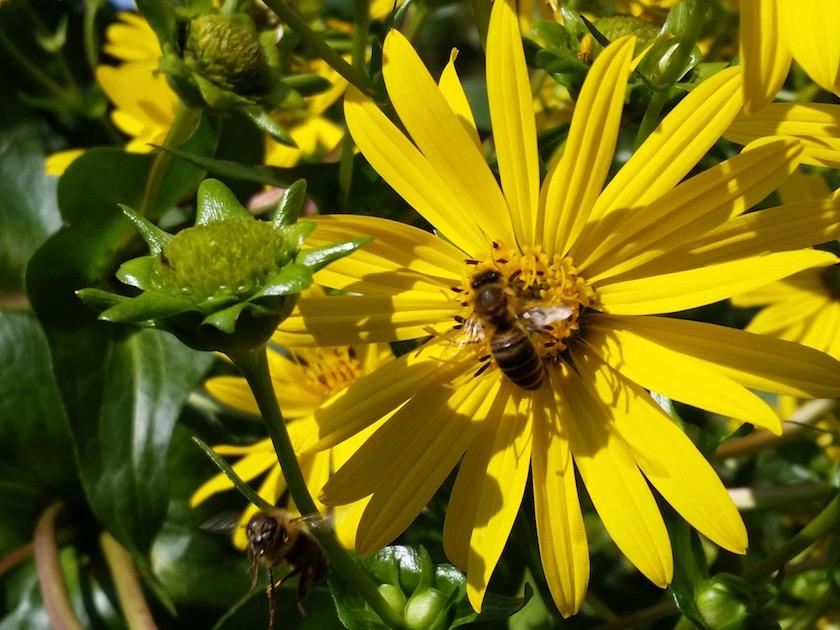 Biene an Durchwachsener Silphie (Silphium perfoliatum)