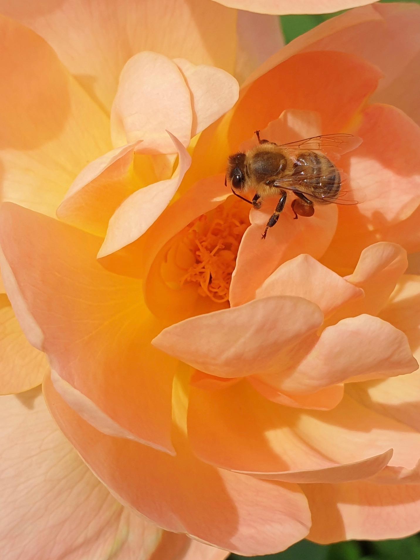 """Biene an Rosa 'The Lark Ascending"""""""