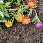 Mittagsblume (Mesembryanthemum 'Wheels of Wonder') in der Schau-Grabanlage im Bamberger Bienengarten von Bienen-leben-in-Bamberg.de