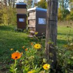 Ringelblumen am Lehrbienenstand 'Bienenweg'