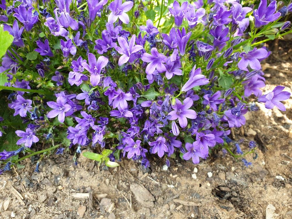 Hängepolster-Glockenblume (Campanula poscharskyana)
