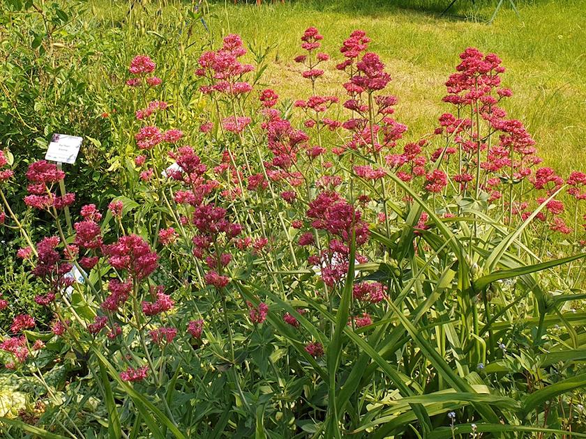 Rote Spornblume (Centranthus ruber)