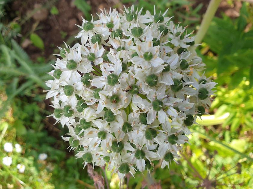 Kugel-Lauch, weiss (Allium aflatunense)