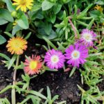 Mittagsblume (Mesembryanthemum 'Wheels of Wonder')