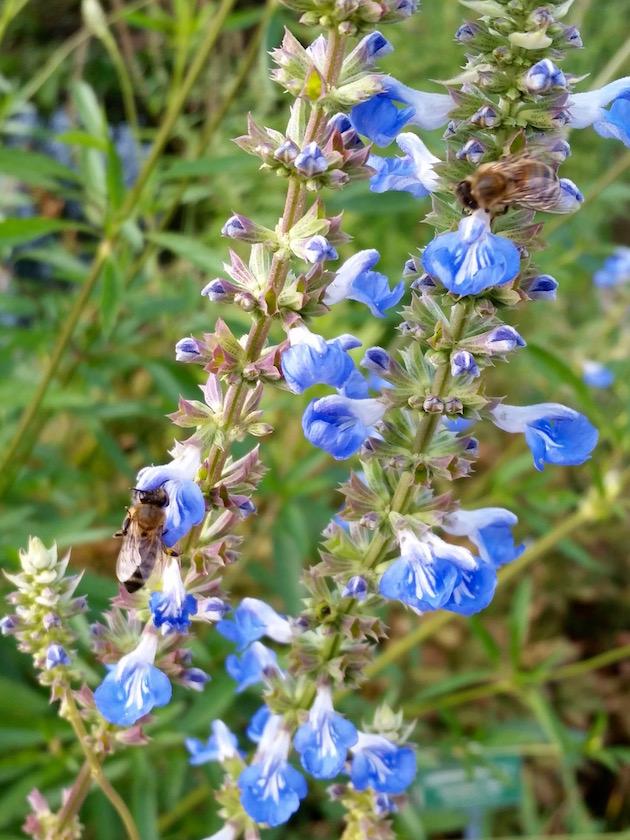 Bienen an Wiesensalbei (Salvia pratensis)