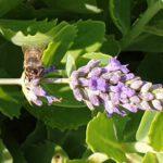 Biene an Lavendel (Lavandula officinalis)