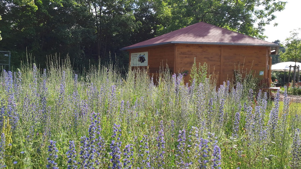 Blühwiese mit Natternkopf vor der Bienen-InfoWabe