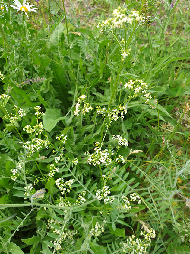 Weisses Labkraut (Galium album)