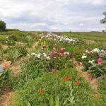 Päonienfeld Blumengarten Andrea Köttner, Obermarchtal