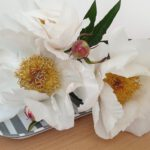 Paeonia lactiflora 'White Wings' (Pfingstrose)