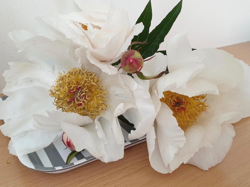 Paeonia lactiflora 'White Wings' (Pfingstrose)