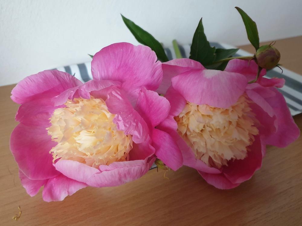 Paeonia lactiflora 'Bowl of Love' syn. 'Wladyslawa' (Pfingstrose)