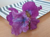 Iris sibirica 'Weinkönigin'