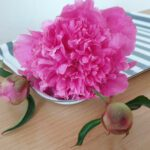 Paeonia lactiflora 'Bouquet Perfect' (Pfingstrose)