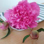 Paeonia lactiflora 'Bouquet Perfect' (Pfingstrose)