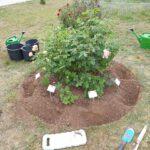 Pflanzen der Lavendula 'Rosea' im Rosenrondell 2
