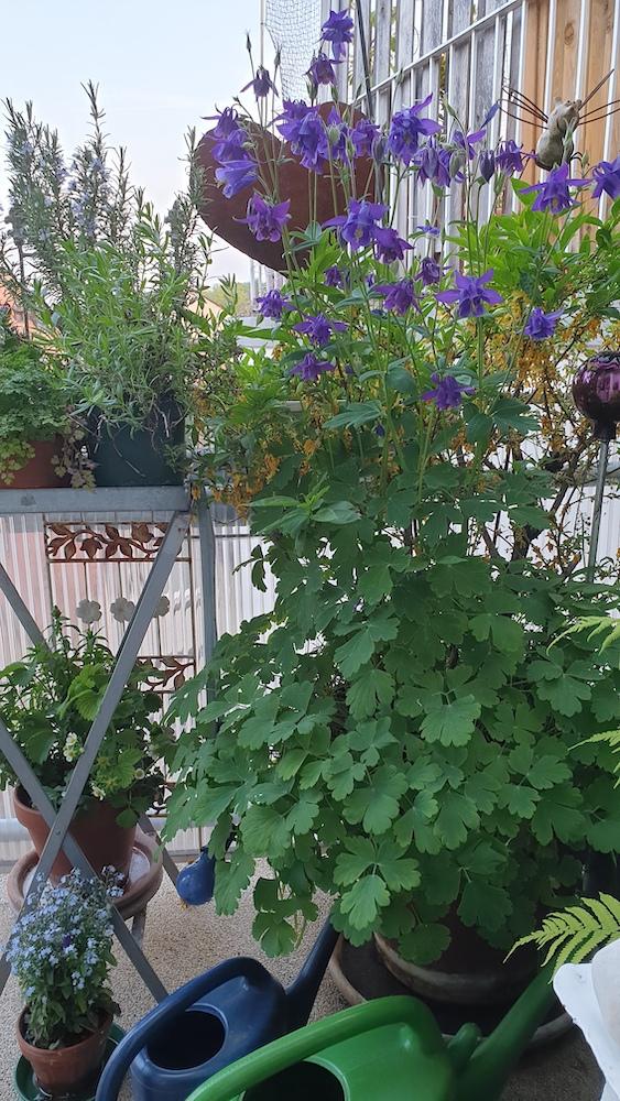 Riesen-Akelei auf unserem kleinen Balkon