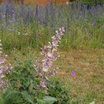 Blühwiese mit Muskatellersalbe im Bamberger Bienengarten