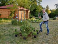 Erweiterung Rosenrondell mit Lavendelpflanzungen der Züchtung 'Rosea'