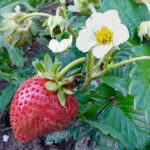 Erdbeere (Fragaria)