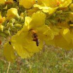 Biene an Großblütiger Königskerze (Verbascum densiflorum)