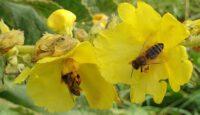 Bienen an Großblütiger Königskerze (Verbascum densiflorum)
