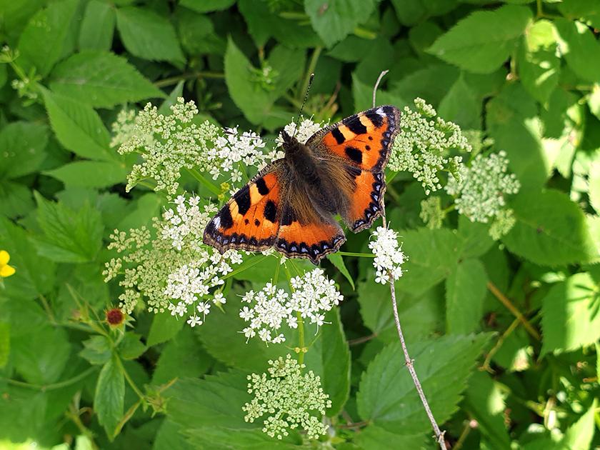 """Schmetterling """"Kleiner Fuchs"""" an Doldenblüte"""