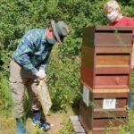 Gäste ernten Honigwaben.