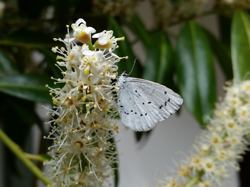 """Schmetterling """"Faulbaum-Bläuling"""" an Kirschlorbeer"""