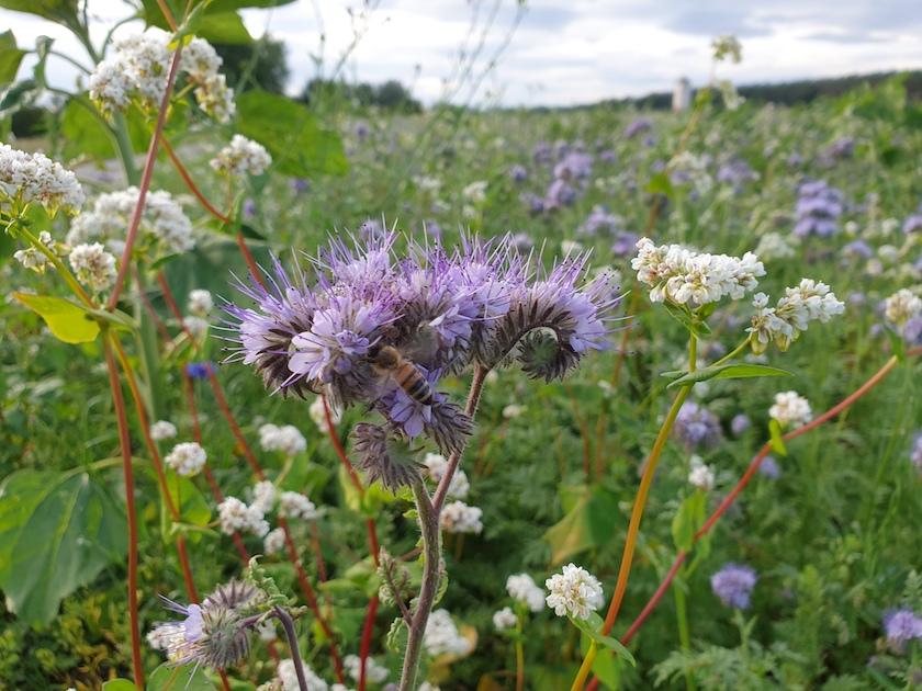 Blühwiesen in den Buger Wiesen, Phazelia und Buchweizen
